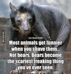 Shaved Bear Meme - 1000 ideas about shaved bear on pinterest uber facts