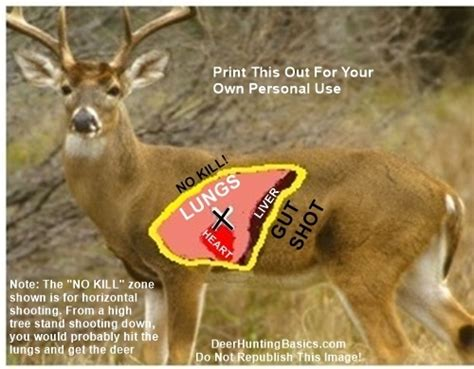 where to shoot a deer diagram placement for deer