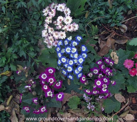 annual flowers that grow in shade ground covers and gardening