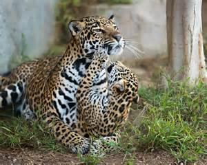 Jaguar Cub Wildography Safaris 187 Archive Wildlife Nature