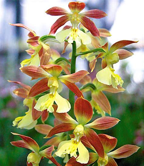 Freiland Orchideen Winterhart 946 freiland orchideen winterhart freiland orchidee 39