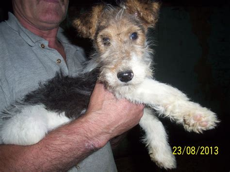 wire haired puppies wire fox terrier puppies wirehaired fox terrier puppies cranbrook kent pets4homes