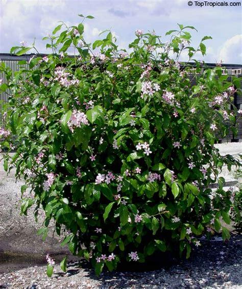 Gardenia Size Kopsia Fruticosa Shrub Vinca Pink Kopsia Kopsia Merah
