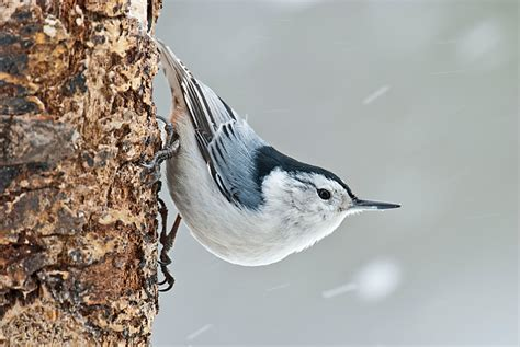 white breasted nuthatch philip schwarz photography blog