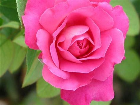 imagenes de rosas blancas naturales rosas 01 jpg