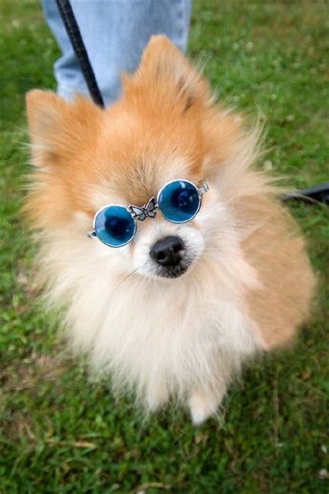 lanas pomeranians 17 best images about pomeranian appreciation on real cutest dogs and