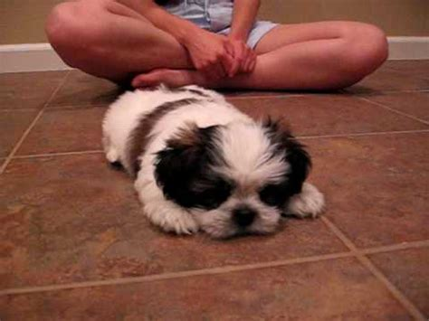 miniature shih tzu puppies shih tzu puppy mini cooper barks