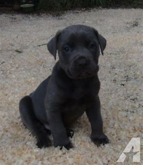 corso mastiff puppies for sale blue corso italian mastiff puppies for sale akc iccf reg for sale in camas