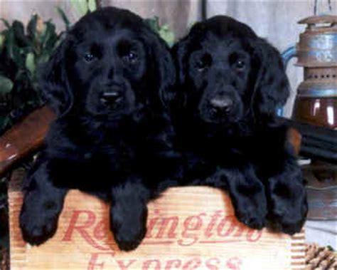 flat coat retriever puppies locating flat coated retriever breeders