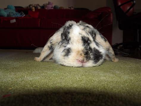 come posso cucinare il coniglio coniglio coniglio distrugge un tappeto
