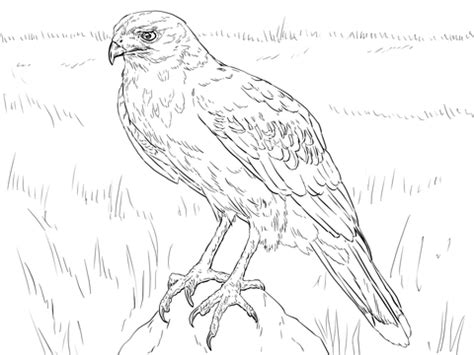 hawk coloring pages coloring pages