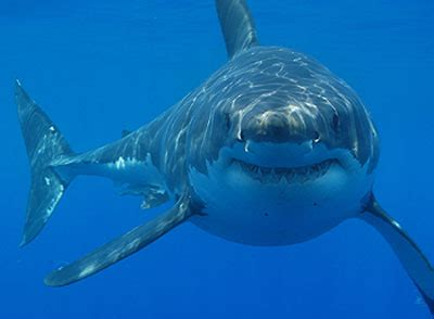 deep sea creatures   famous shark pictures that are