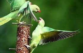 Harga Pakan Burung Jewawut burung parkit arsip page 2 of 2 situs burung berkicau