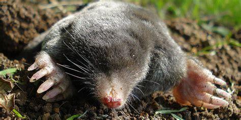 come allontanare i topi dal giardino come allontanare le talpe in giardino e orto senza far