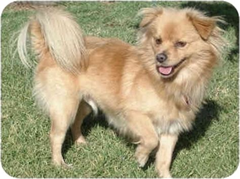 king charles spaniel and pomeranian adopted puppy los angeles ca cavalier king charles spaniel pomeranian mix