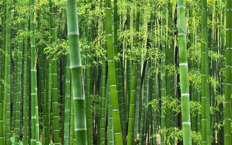 What?s the Deal With Bamboo? Green or not?