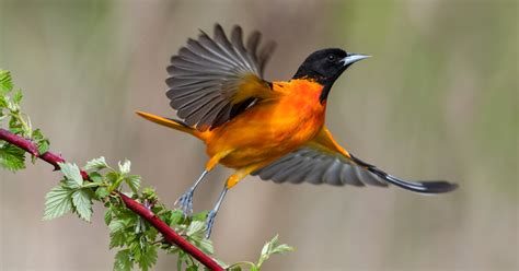 featured birds baltimore and bullock s orioles