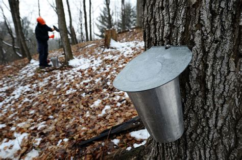 Histrine Syrup could maple syrup plantations be a way of the future