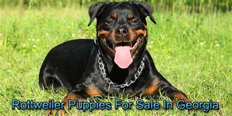rottweiler breeders in ga rottweiler puppies for sale in