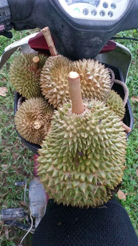 warisan petani musim buah durian