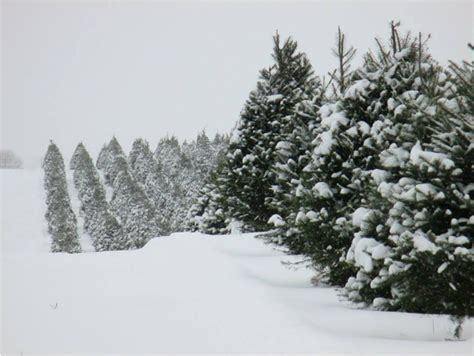 how many christmas trees per acre woody acres trees