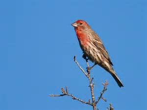 california house finch in the backyard house finch pacific nw birder