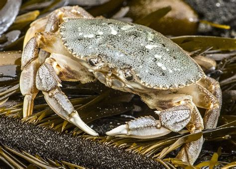 Whats In Season Dungeness Crabs by Oregon Officials Set Start Date For Dungeness Crabbing