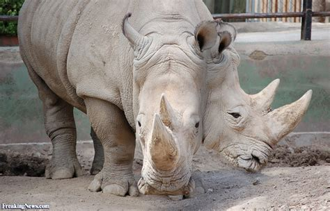two headed two headed rhino pictures freaking news