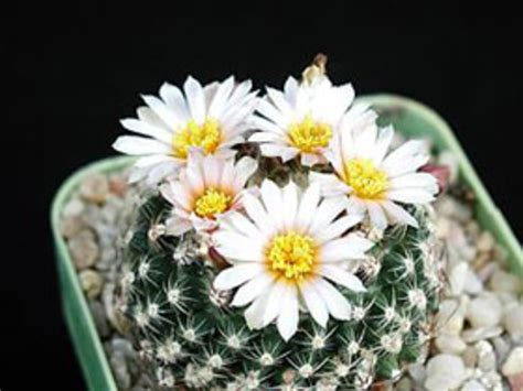 wont  potted cacti  flower horticulture