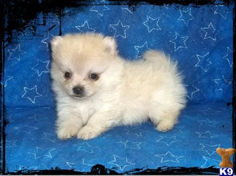 how to potty your pomeranian puppy toilet your pomeranian puppy pomeranian breed facts pets world