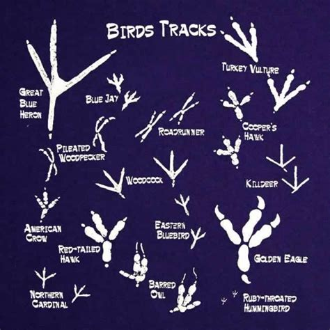 1000 images about animal tracks on pinterest deer