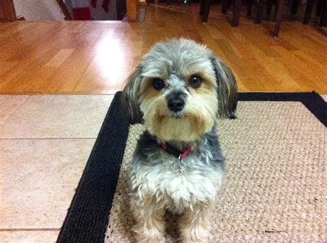 yorki maltese mix 1000 reward missing yorkie maltese mix michigan humane society