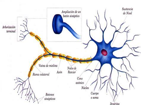 imagenes de neuronas sensoriales celulas y tejidos