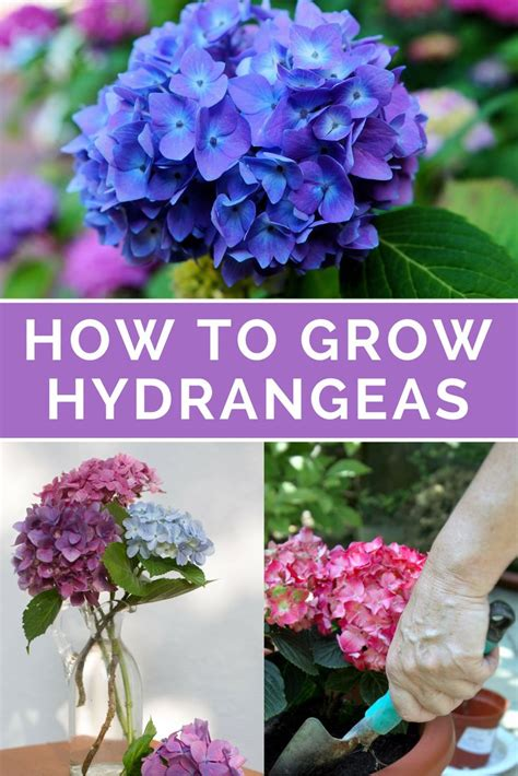25 best ideas about hydrangea landscaping on pinterest hydrangeas different flowers and all