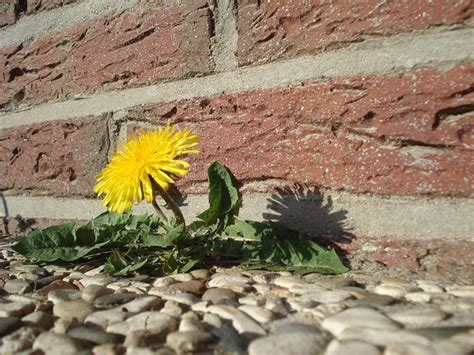 how to get rid of dandelions tomlinson bomberger