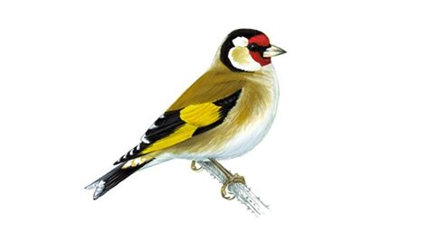 goldfinch adult