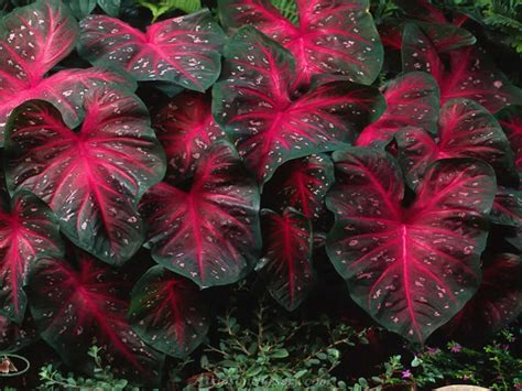 caladiums red flash bulbs elephant ears perennial plants