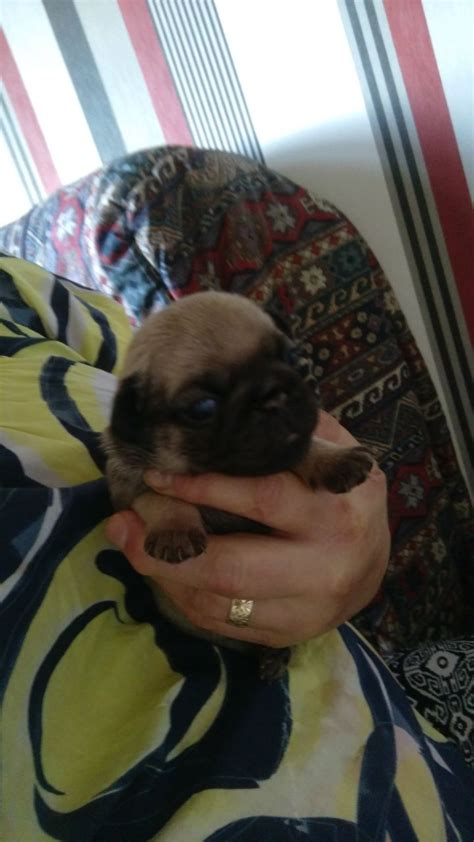 standard pug apricot and fawn show standard pugs leigh greater manchester pets4homes