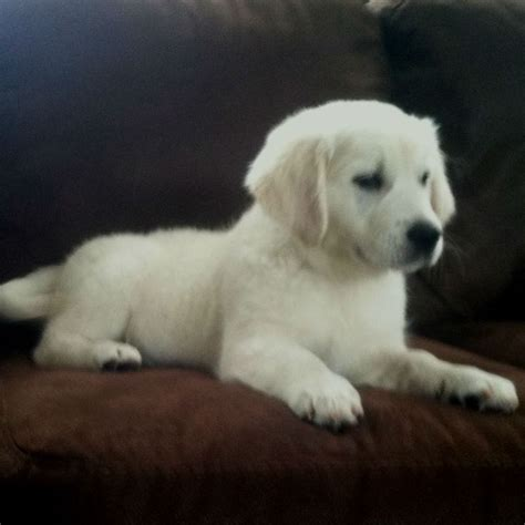chion golden retriever puppies for sale 1000 ideas about pugs for sale on pug puppies pug puppies for sale and pugs