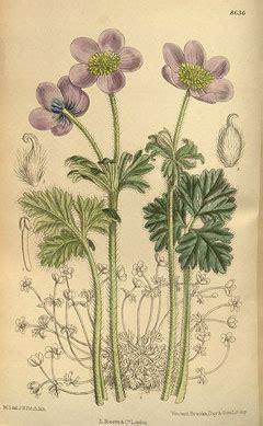 anemone edible anemone obtusiloba pfaf plant database