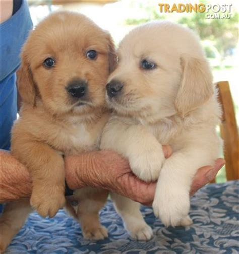 golden retriever puppies nsw view all dogs for sale in australia