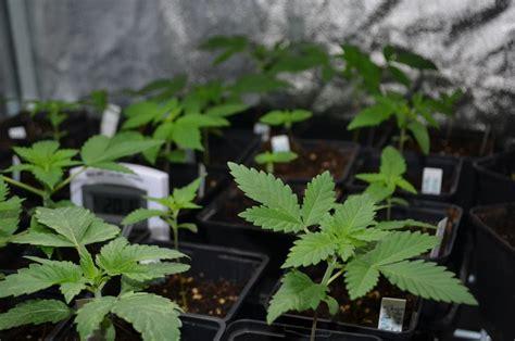 marijuana seeds  indoor growing alchimia blog