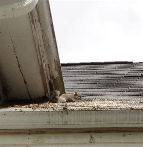 squirrel in ceiling squirrels in walls and ceilings 28 images rat bristol pest services 窶 窶 窶