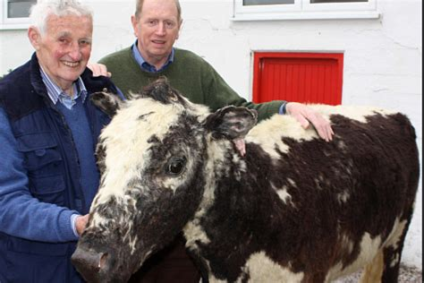 world s oldest world s oldest cow 49 years with 39 calvings thatsfarming