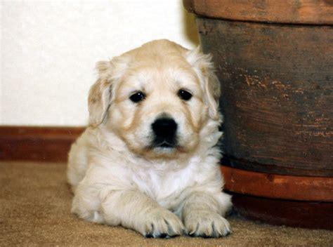 american golden retriever breeders american golden retriever breeders uk dogs our friends