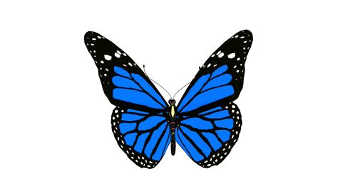 Butterfly Blue butterfly blue monarch animation loop motion background