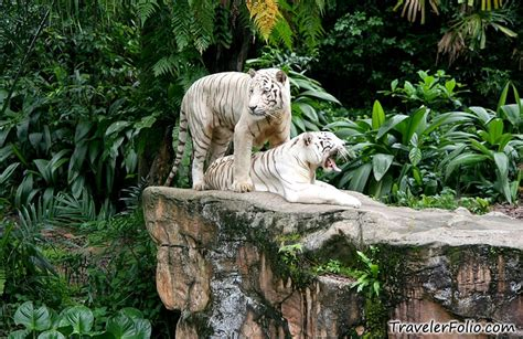 White Zoo white tiger animal
