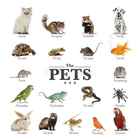 Plakat Po Angielsku by Plakat Zwierzęta Domowe W Angielskim Obraz Stock Obraz