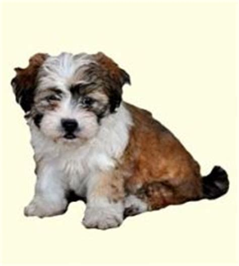 teddy puppies for sale in nj 1000 ideas about teddy puppies on puppy shichon puppies for