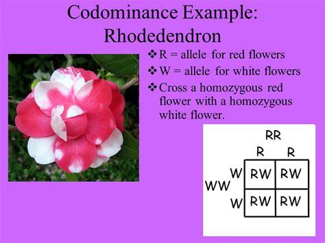exle of codominance non mendelian genetics ppt